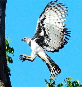 Harpy Eagle Flight