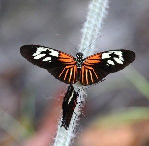 Erato Longwing Butterfly