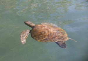 Galapagos Turtel